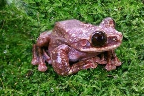 The Rabbs' Tree #Frog Just Went Extinct #extinction collapsing #ecosystems | Messenger for mother Earth | Scoop.it