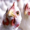 Re-emergence of bird flu: FAO Alerts - spyghana.com | Avian influenza virus A(H7N9) | Scoop.it