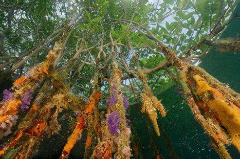 Magazine Article- Mangrove Swamp | Mangrove Swamp | Scoop.it