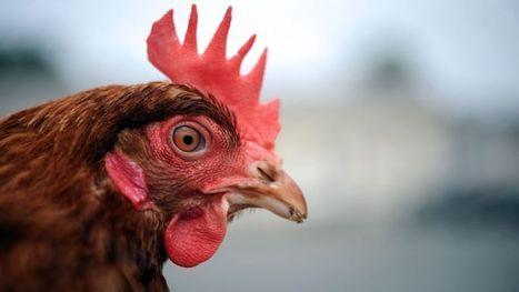 La poule, nouvelle star du recyclage | 694028 | Scoop.it