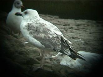 surfbirds.com - Putative Heuglin's Gull, Norfolk, UK   Bird ID   Scoop.it