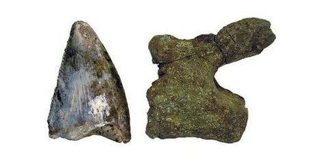 Wetenschappers ontdekken voor het eerst een dinosaurus in Saoedi-Arabië - Scientias.nl | KAP-VanRoyBrian | Scoop.it