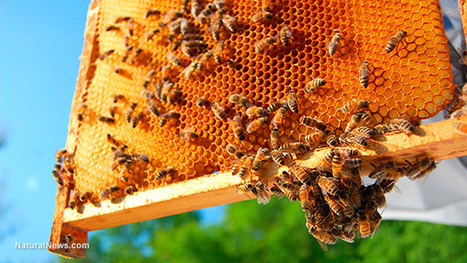 Honeybees face extinction as Big Biotech blocks protections, leaving pollinator insects vulnerable to deadly pesticides | Liberty Revolution | Scoop.it