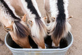 From Vermont: Horses as Farm Equipment -- New York Times | The Jurga Report: Horse Health, Welfare, and Care | Scoop.it