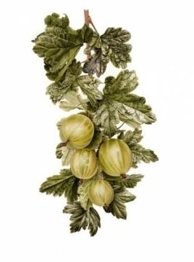 Artwork: Gooseberries GICLÉE PRINT - Open House Art | Art - Crafts - Design | Scoop.it