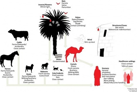 Camels, Cattle and Coronavirus: the Hunt Must Continue | MERS-CoV | Scoop.it