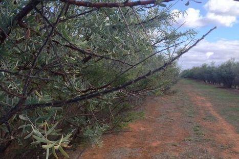 Native foods helping citrus farmer value add | Australian Plants on the Web | Scoop.it