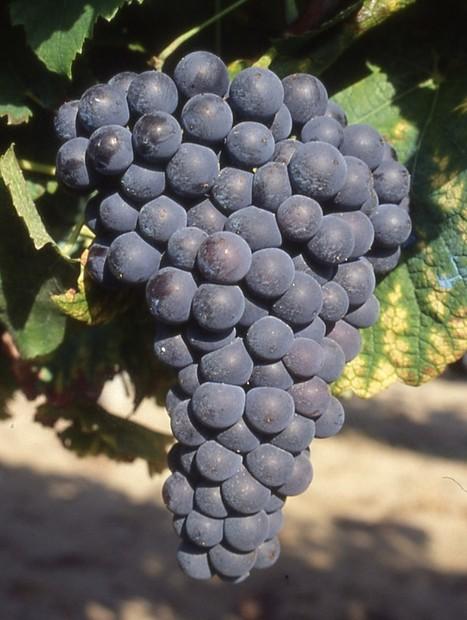 La mondeuse, du caractère au sommet   IRWT - Vins de Savoie & du Bugey   Scoop.it