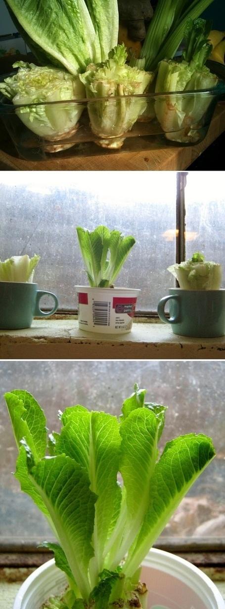 Re-grow Romaine Lettuce Hearts | Backyard Gardening | Scoop.it