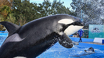Proposed ban on orca shows at SeaWorld stirs anger in San Diego | Current Event | Scoop.it