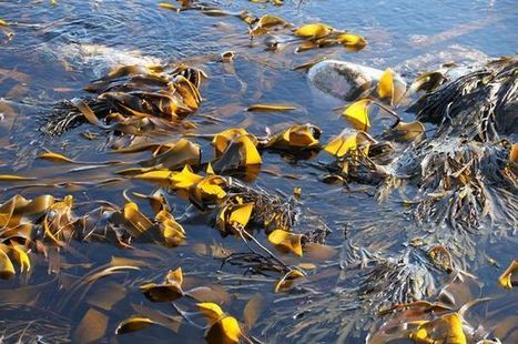 BBSRC mention: North East expertise to turn seaweed into sustainable energy | BIOSCIENCE NEWS | Scoop.it