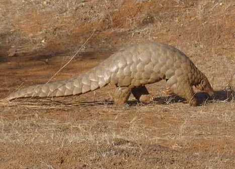 50,000 lost in 2011? Pangolin Trade Betrays Apathy for Biodiversity | Wildlife Trafficking: Who Does it? Allows it? | Scoop.it