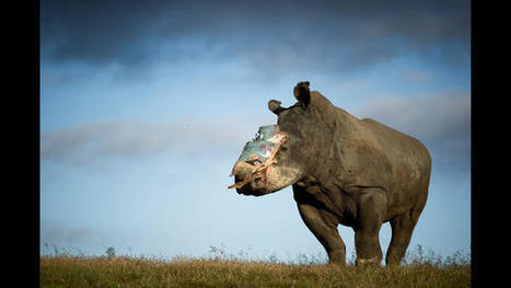 Debate over rhino horn trade ramps up as South Africa ban is lifted | What's Happening to Africa's Rhino? | Scoop.it