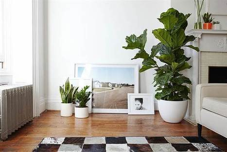 The trendiest plant of 2015? What to know about the fiddle-leaf fig tree | Kickin' Kickers | Scoop.it
