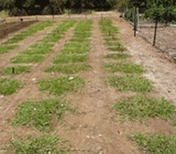 Lawn Grass | Lawn Turf Suppliers | Scoop.it