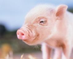 Antibiotics Breed Drug-Resistant Bacteria in Pigs | Food issues | Scoop.it