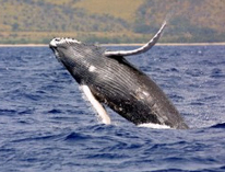5th Annual Whale and Dolphin Festival Arrives in Costa Rica - The Costa Rica Star | Intrepid #Cove #Guardian @ManiNeptune | Scoop.it