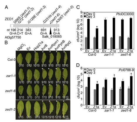 The Arabidopsis ZED1 pseudokinase is required for ZAR1-mediated immunity induced by the Pseudomonas syringae type III effector HopZ1a | Effectors and Plant Immunity | Scoop.it