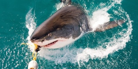 100 Million Sharks Are Killed Each Year: If They Keep Dying, So Will We | KNOWING............. | Scoop.it