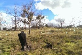 Climate change likely to be responsible for Monaro dieback | Australian Plants on the Web | Scoop.it