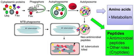 Autophagy in Immunity and Cell-Autonomous Defense Against Intracellular Microbes | Immunology for University Students | Scoop.it