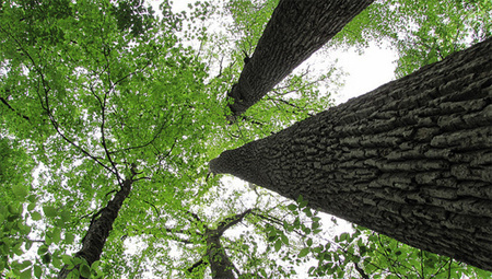 Tree's drought distress call heard in lab | Radio Show Contents | Scoop.it