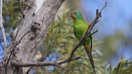 Tasmania's swift parrot now facing population collapse | Biologia 4, lukio | Scoop.it