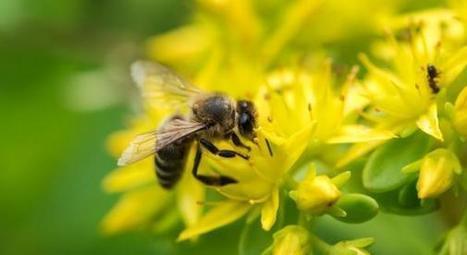 Les abeilles, une espèce officiellement reconnue en voie de disparition   jardin urbain   Scoop.it
