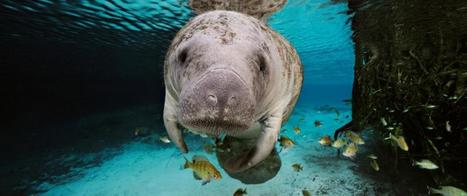 What You Didn't Know About Manatees in Honor of Manatee Awareness Month | All about water, the oceans, environmental issues | Scoop.it