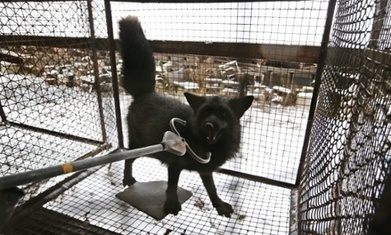Animal rights 'terrorists'? Legality of industry-friendly law to be challenged | GarryRogers Biosphere News | Scoop.it