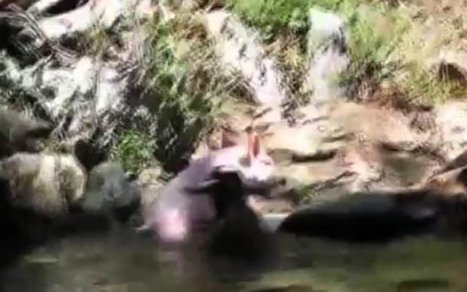 Heroic pig rescues foundering baby goat | Strange days indeed... | Scoop.it