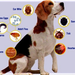 Mike Rodriguez – Google+ - Advantage Multi for Dogs to treat flea infestations and… | Perfectpetproducts.com | Scoop.it