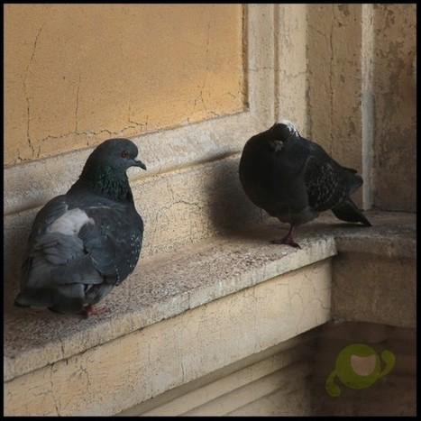 Informagiovani Varese on Instagram: &ldquo;I nostri pi&ugrave; accaniti sostenitori! <br/>#informagiovani#pigeons#varese#gnappo&rdquo; | Informagiovani, buone idee | Scoop.it