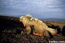 Galapagos Marine Iguana | Animal Conservation - Iguana (Marine) | Scoop.it