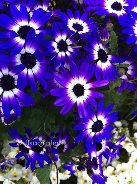 Cool weather annual here in Georgia: Cineraria.... | Wallace Gardens | Garden Design with Wallace Gardens | Scoop.it