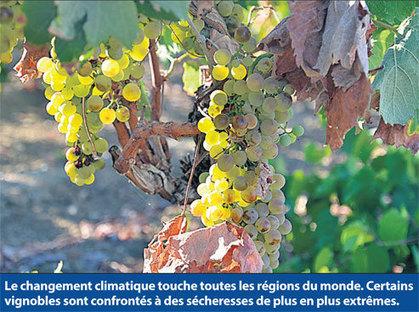 25/11/16 - Viticulture : Réchauffement : que faire, s'adapter ou partir ? | INRA Montpellier | Scoop.it