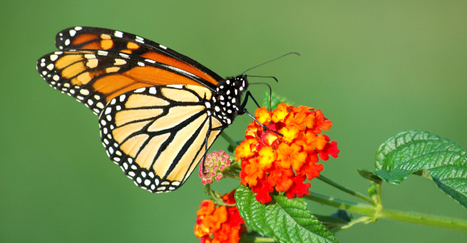 Butterflies heat up the field of solar research | Solar Energy projects & Energy Efficiency | Scoop.it