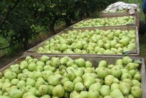 Research finds pear juice can ward off hangovers | Plant Pathology | Scoop.it