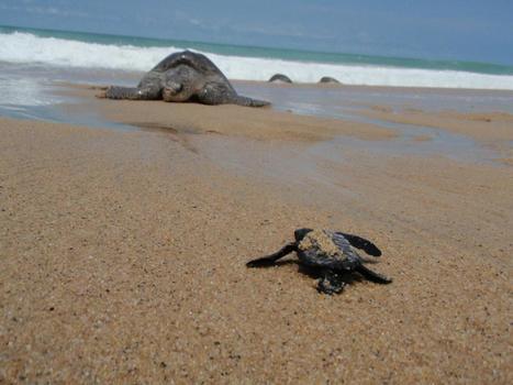 WORLDWIDE: Muerte masiva de tortugas impacta en Centroamérica | Las Perspectivas Latinas | Scoop.it
