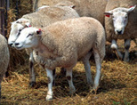 What's in the sheep genome? Wool see   CSIRO   IMCC 8 Society and Environment   Scoop.it
