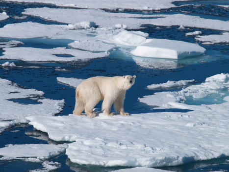 As climate changes, polar bears switch to polluted food - Grist | Global warming and the extinction of polar bears | Scoop.it