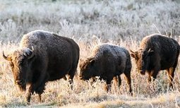 Bison to return to Montana after 140 years in the Canadian wilderness   Sociétés & Environnements   Scoop.it