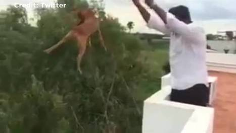 Dog thrown from roof on video found alive, animal rights activists say | Nature Animals humankind | Scoop.it