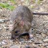 Rat Removal Atlanta