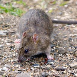 Rat Control & Removal - IPM Pest Management Pest Control | Rat Removal Atlanta | Scoop.it
