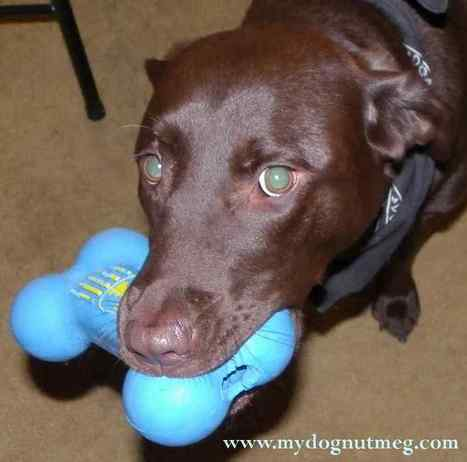 Nutmeg and Her Binky | My Dog Nutmeg the Chocolate Lab | Annie Haven | Haven Brand | Scoop.it