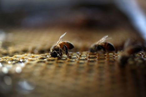 Bee loss worsens as 44 percent of US colonies disappear over last year | Nerd Vittles Daily Dump | Scoop.it