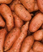 Dual attack on white grubs promising in Carolina sweet potatoes | Vegetables content from Southeast Farm Press | Research from the NC Agricultural Research Service | Scoop.it