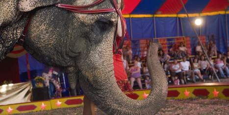 Protecting Circus Elephants - Huffington Post   Elephants   Scoop.it