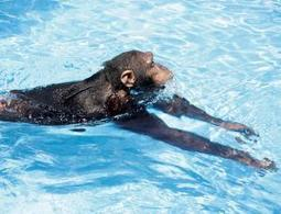 Forget doggy paddle – apes prefer breaststroke - life - 08 August 2013 - New Scientist | Educational readings | Scoop.it